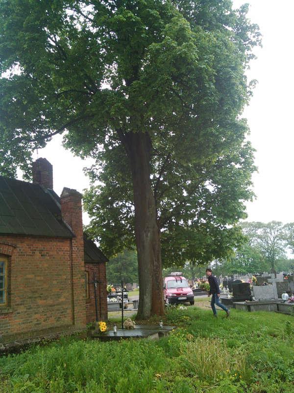 Wycinka drzewa - Klon