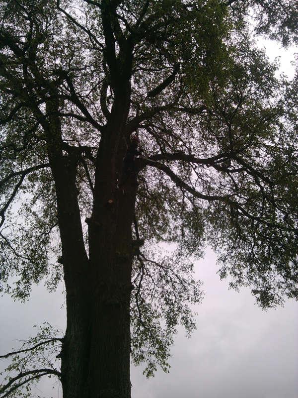 Wycinka drzew - Gaj