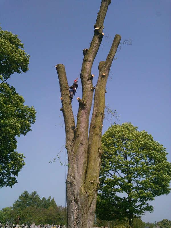 Ścinanie drzewa Klon