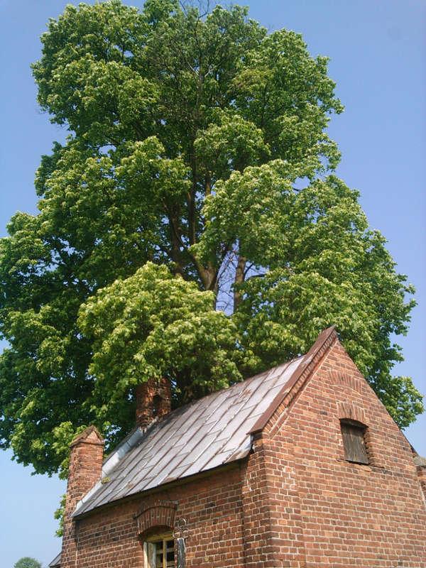 Ścinanie drzew Klon