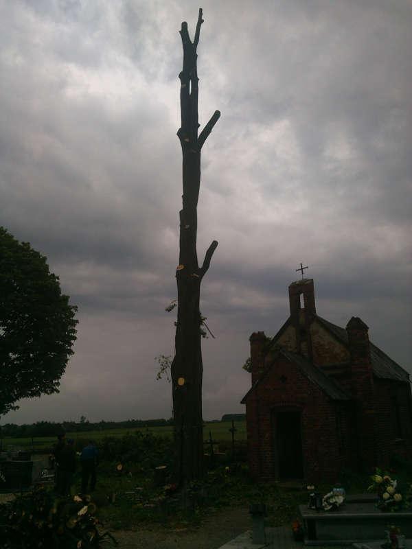 Klon - ścinanie drzew
