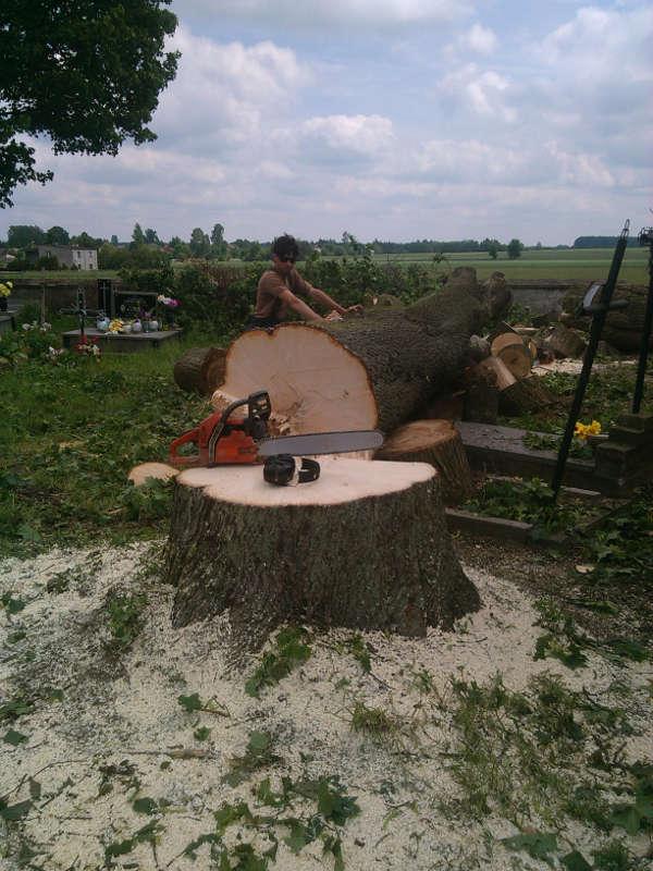 Klon - wycięcie drzewa