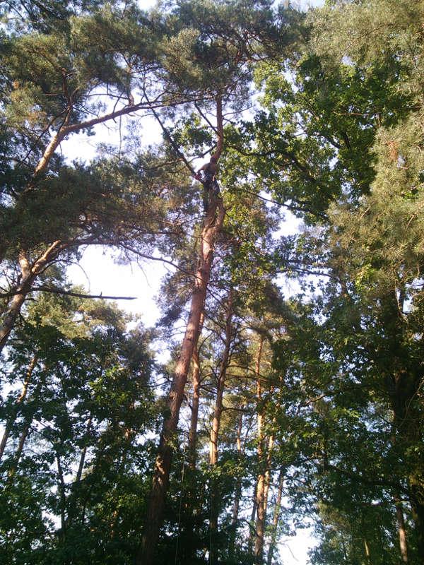 Sosna - ścinanie drzew Radomsko
