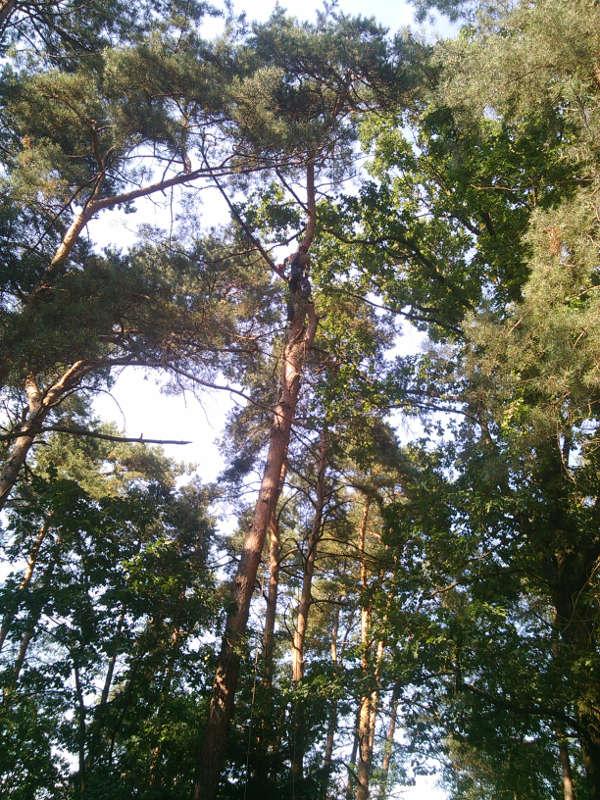 Sosna - wycinka drzew Radomsko