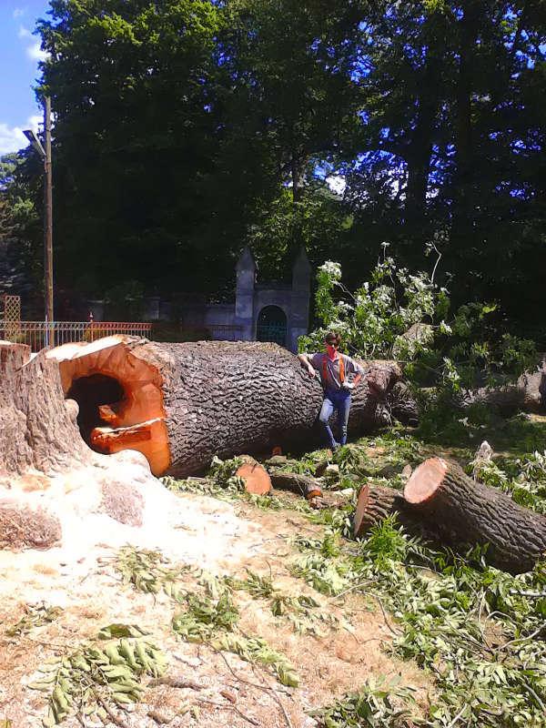 Ścinanie drzewa Jesion - Częstochowa