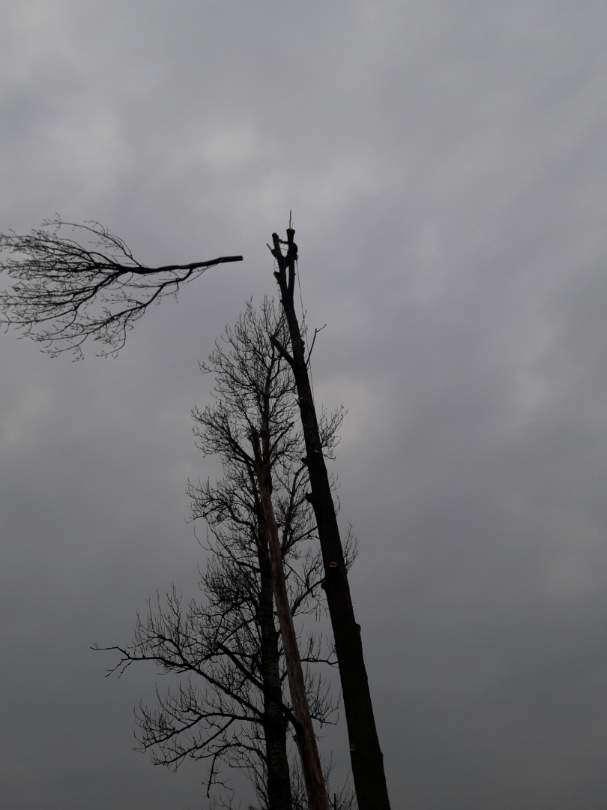 Wycinka drzew - ścinanie wierzchołka
