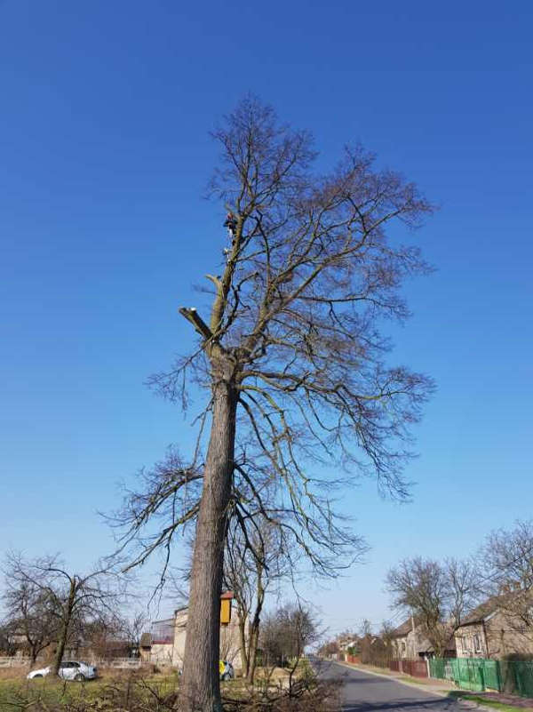 Ścinanie drzewa Jesion