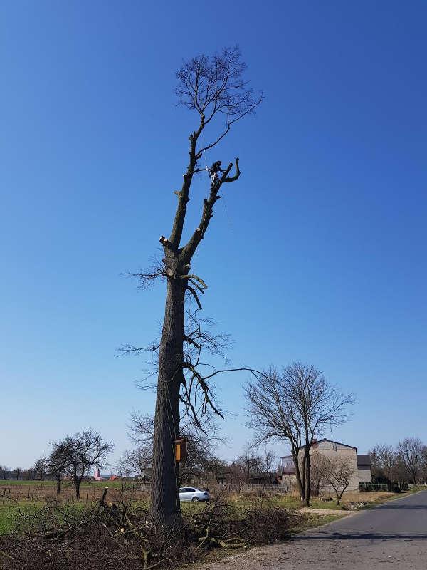 Wycinka drzewa Jesion